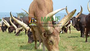 Agriculture Uganda