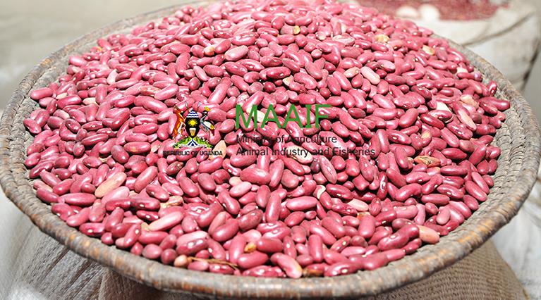 Beans 256