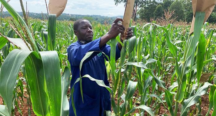 Maize value